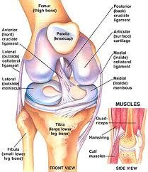 On Interior Of Knee by A Review Of Acl Injuries And Methods Of Recovery Cssmart