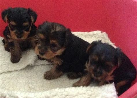 manchester terrier puppies terrier puppies manchester greater manchester pets4homes