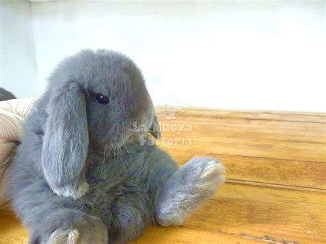 alimentazione coniglio nano ariete la nuova fattoria conigli nani da compagnia razze