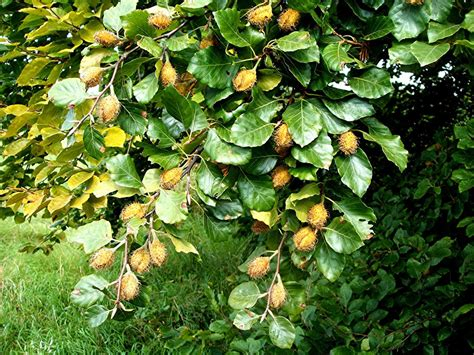 fagus sylvatica beech fagus sylvatica naturespot
