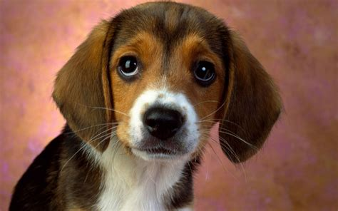 beagle puppy names puppy beagle dogs puppies names breeds and grooming