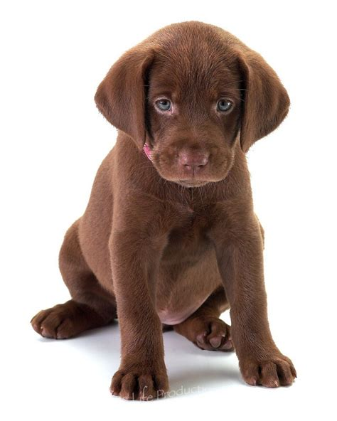brown puppies 17 best images about chocolate labs on lab puppies and i want