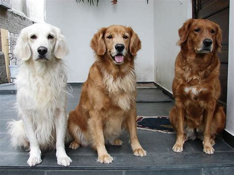 golden retriever shades 788 best images about golden retrievers rock 5 on