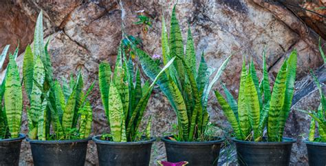 modern houseplants 3 popular mid century modern houseplants gardening tips