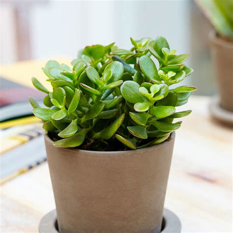 Feng Shui Pflanzen by Buy Top 5 Feng Shui Plants At Nursery Live Best