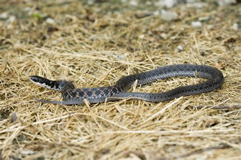 usfws sued for not listing kirtland snake as endangered