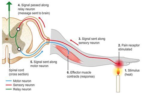 diagram of the reflex arc reflex arc nervous system