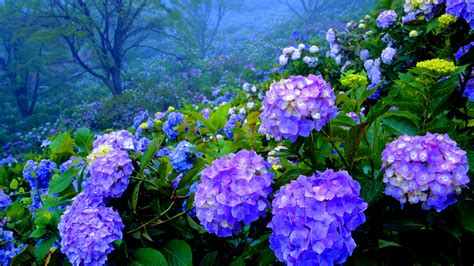 wallpaper flower hydrangea hydrangea s wallpaper 1920x1080 23179