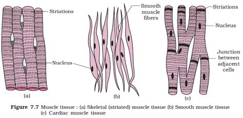 striated cell diagram ncert class xi biology chapter 7 structural