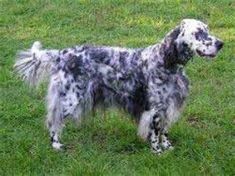 english setter pointer dog breeds dog breeds page 4 my horse forum
