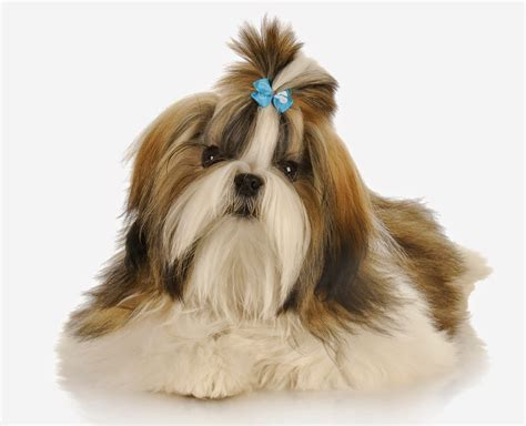 my shih tzu has everything about your shih tzu my dogs