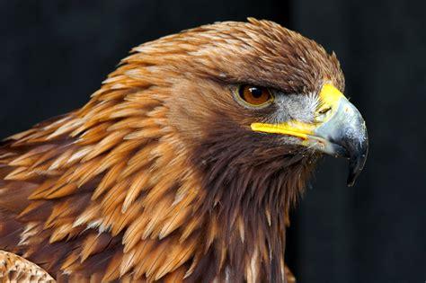 google images eagle majestic golden eagle google search eagle pinterest