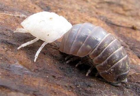 pill pugs 10 interesting pill bug facts my interesting facts