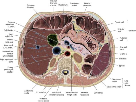 transverse section of the abdomen spaces atlas of anatomy