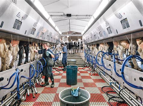 the dairy barn redesigned modern farmer the dairy barn redesigned parlour cow and animal
