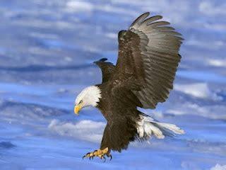hd wallpapers golden eagles