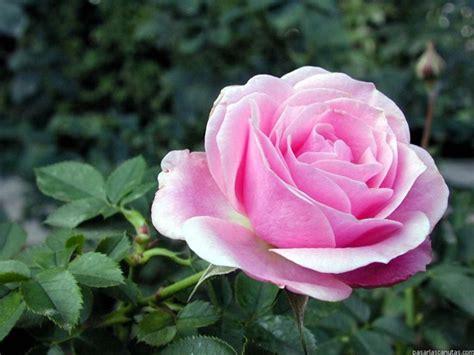 la rossa la rosa y el cardo jos 233 rosas en clave de ni 241 os