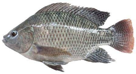 Pakan Ikan Lele Sesuai Umur sesuaikan pakan dengan umur ikan nila poultryshop indonesia