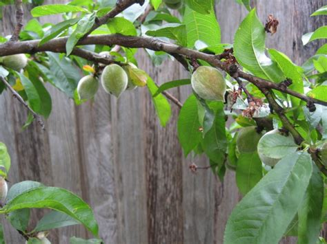 how to identify fruit trees forum identify some trees and pests