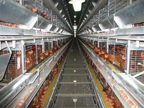 allevamento galline in gabbia avicoltura tavolo filiera iz informatore zootecnico