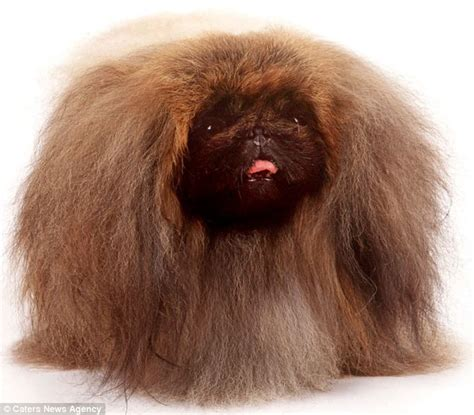 dogs with human hair into the hilarious animal photos show it s not just humans who bad hair