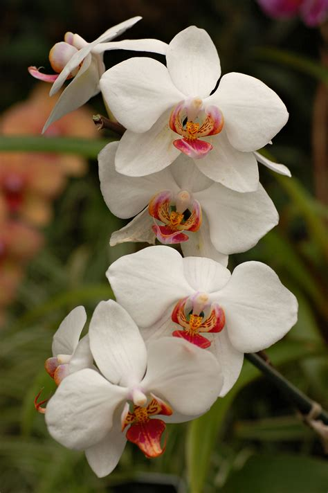 orchid flower tattoos on pinterest