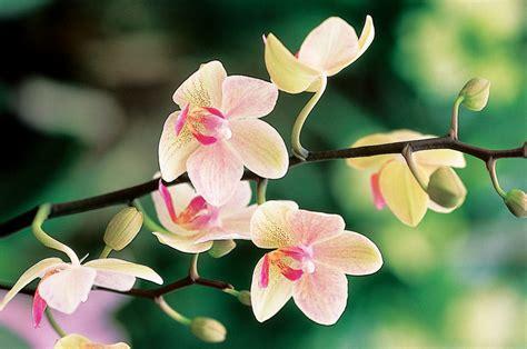 come coltivare le orchidee in vaso come coltivare le orchidee in vaso