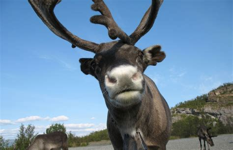 alarming reindeer die off on st paul island after