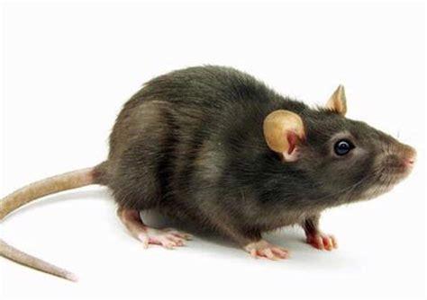 cara membuat jebakan tikus got cara mengusir tikus di rumah archipost
