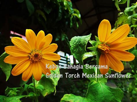 Benih Bunga Zinnia Orange King Pack 50 Biji kebun bahagia bersama golden torch mexican sunflower