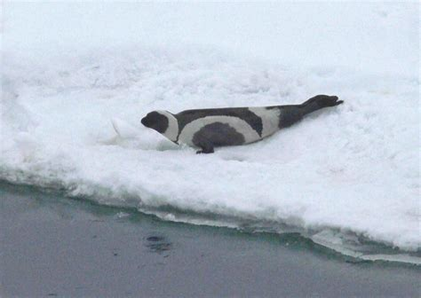 seal ribbon file ribbon seal phoca fasciata jpg wikimedia commons
