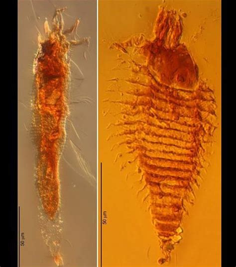 Triasa Maxi les plus vieux insectes du monde d 233 couverts dans de l ambre