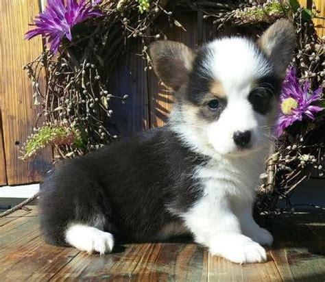 corgi puppies for sale chicago best 20 corgi puppies for sale ideas on corgi dogs for sale small