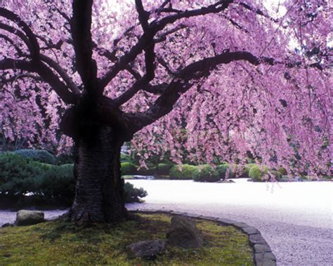 image gallery japanese weeping cherry tree