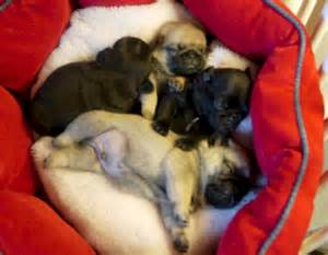 Lotus Blossom Pugs Black Baby Pug Image Search Results