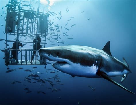 cage dive with sharks the origin and development of cage diving with white