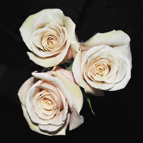 sahara rose  similar  quicksand light tan  cream rose sahara rose cream roses rose
