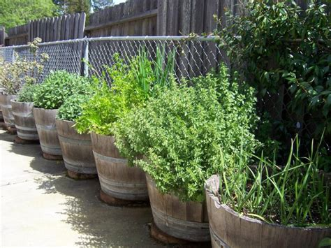 growing herbs  wine barrels benicia ca patch