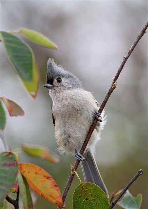 birds of pennsylvania and ohio website of doris dumrauf