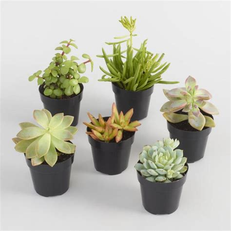 tiny potted plants small assorted live potted succulents world market