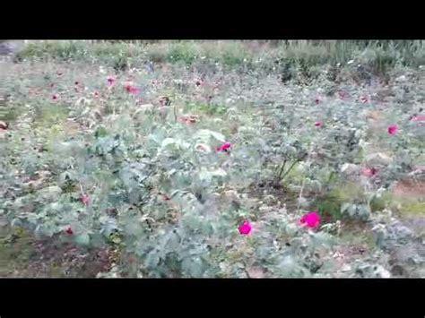 Pupuk Bunga Nasa penggunaan pupuk supernasa pada budidaya bunga mawar di