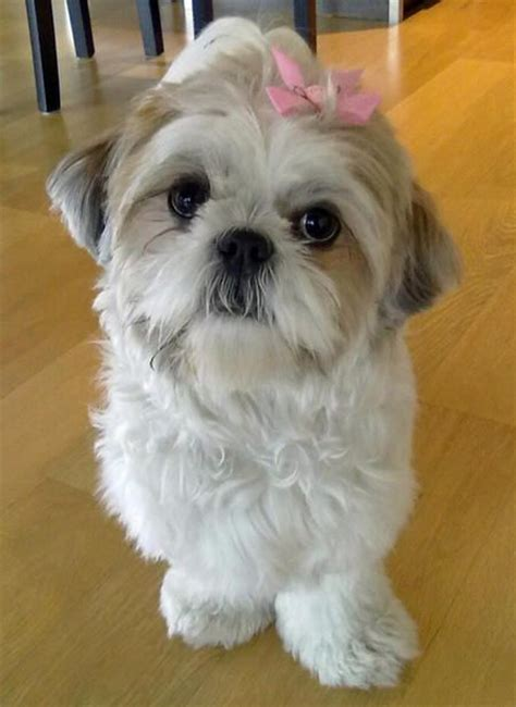 potty shih tzu puppy 70 best images about happy fluffy puppies on puppys border collie pups