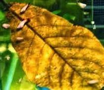 Daun Ketapang Kering Untuk Ikan Cupang manfaat daun ketapang bagi ikan cupang