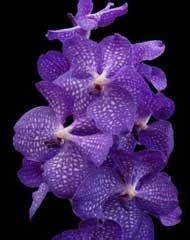 orchidee bloemen vallen af orchidee 235 nkring groot rotterdam planten voor beginners