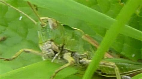 Would You Eat This Grasshopper Snack by Grasshoppers Mating Whilst