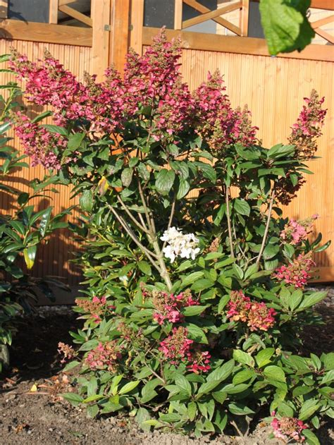 Rispenhortensie Wims by Rispenhortensie Wims 174 Hydrangea Paniculata Wims