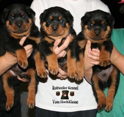 rottweiler breeders illinois baby rottweiler puppies for sale in illinois dogs in our photo