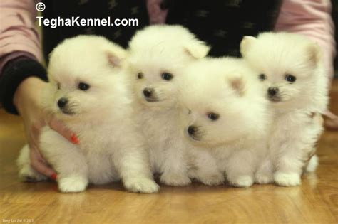 pomeranian puppy for adoption in delhi pomeranian puppies for sale tajinder singh 1 14639 dogs for sale price of