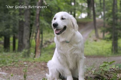 white golden retriever breeders california 25 best ideas about golden retrievers on golden baby golden