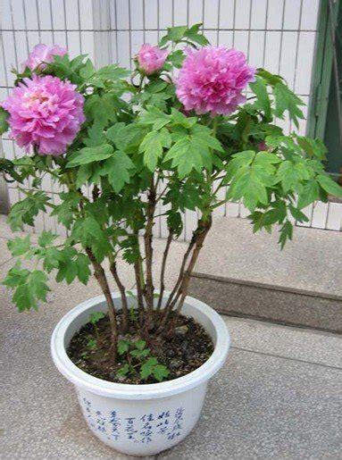 vaso da bonsai bonsai vaso da flor da pe 244 nia feeds para flor camas in 237 cio